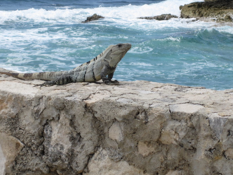 The resident iguanas are everywhere.