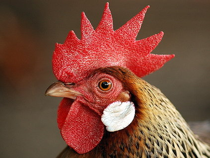 Do you have a penchant for close-call, head-on collisions? This chicken wants to know.