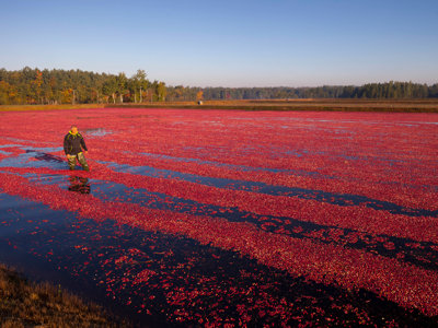 Cranberries: Wisconsin's contribution to the Thanksgiving table