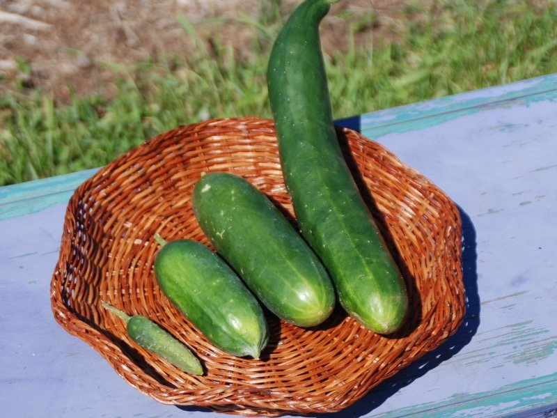 Used sex cucumbers for sale
