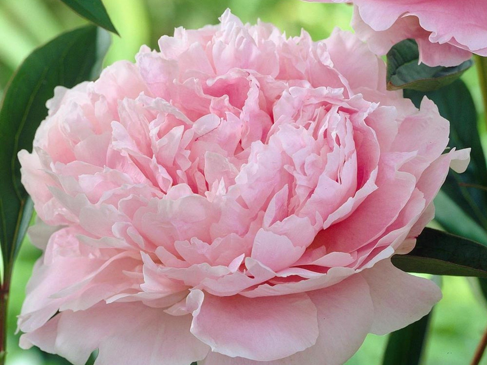 Lush Peonies Add Beauty And Fragrance To Early Summer Gardens