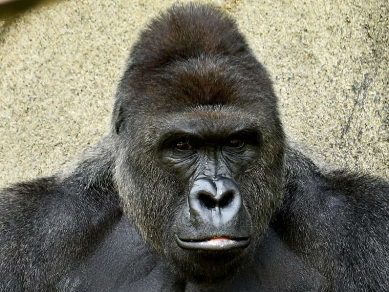 How The Social Media Mob Has The Gorilla Blame Game Backwards