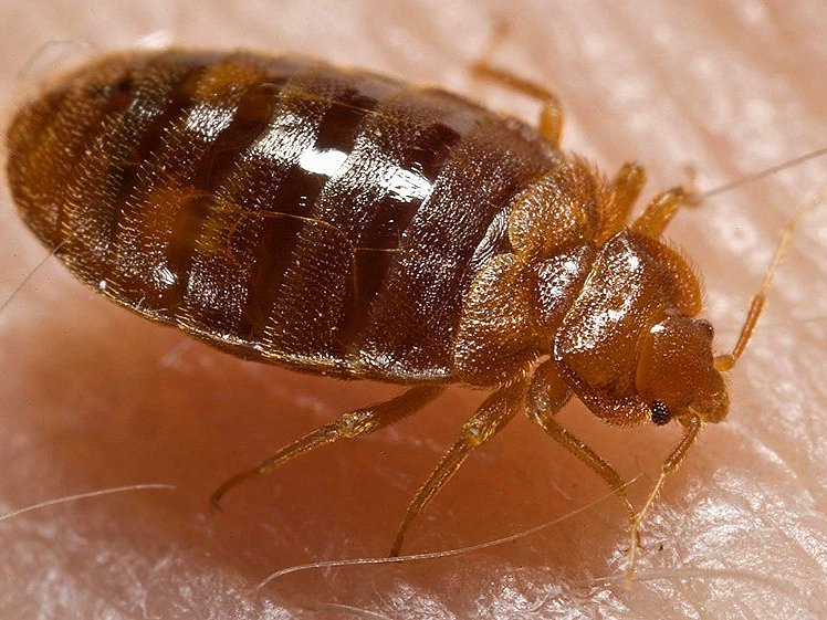 How To Avoid Bloodsucking Bedbugs When Traveling Onmilwaukee
