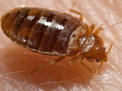 How to avoid bedbugs Image