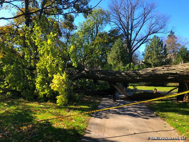 heavy winds down a landmark lake park tree onmilwaukee