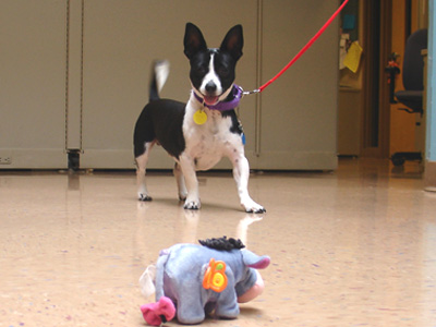 Linus is a dynamic, little dog with distinctive black and white markings and a big-guy personality.