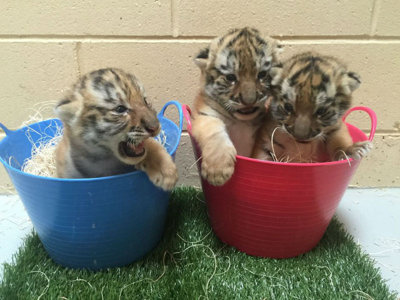 Milwaukee County Zoo's three tiger cubs make public debut