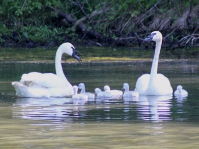 Missing: Michael Cudahy's swans