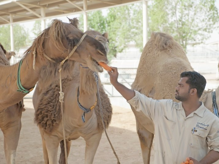 """SKINUE sources the camel milk whey for its products from the camels of the royal family of The United Arab Emirates."""
