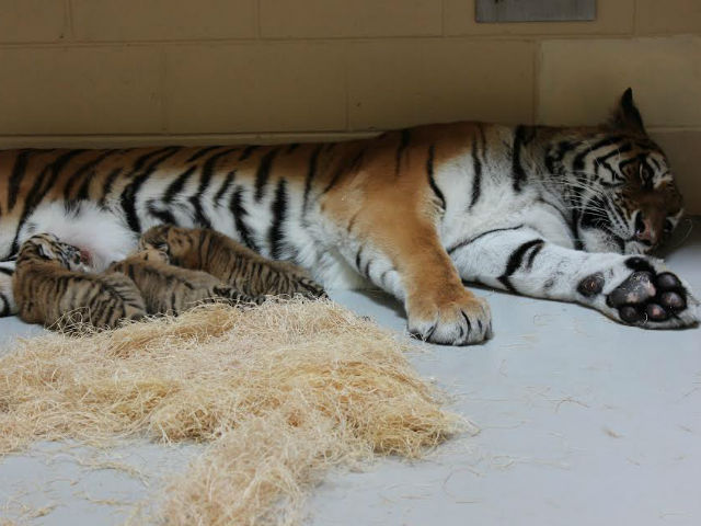 OMG tiger babies! Milwaukee Zoo announces birth of three