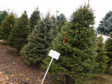 2014 Christmas tree buying guide