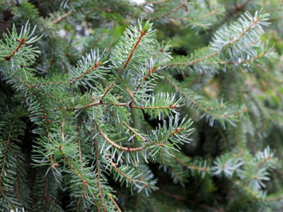 2016 Christmas tree buying guide