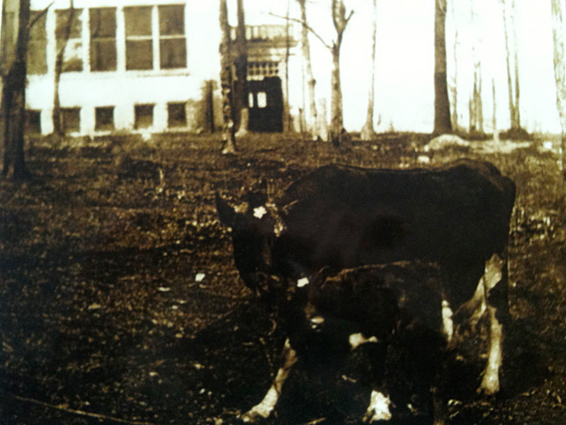 In this undated photo, given to the school by a neighbor, a cow and her calf graze on the lawn at Trowbridge.