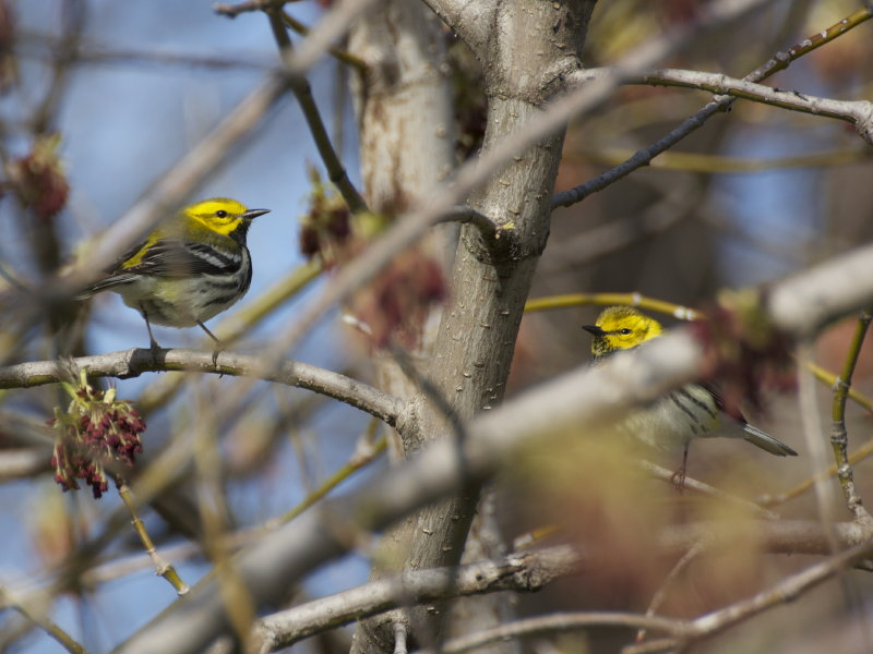 Two black-throated green warblers who kindly posed for me in Milwaukee's Lake Park last weekend.
