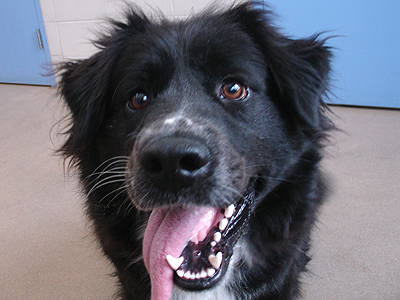 Whiskey is an exuberant two-year-old Border Collie/Chow Chow mix.