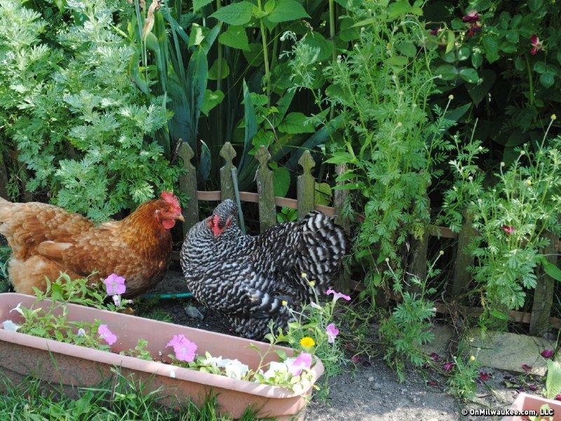 City folk keep chickens, bees - OnMilwaukee