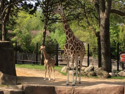 D'awww! Meet Zola the Zoo's new baby giraffe